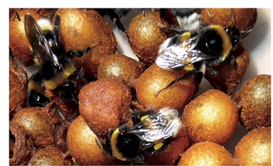 New article in Insects on the relationships between bees and flowers in collaboration with Maryse Vanderplanck